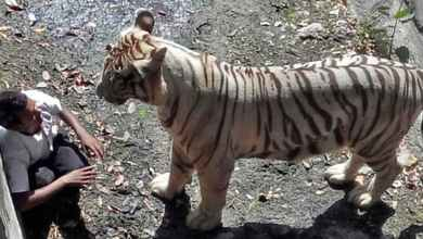 Two tigers escape from Indonesian zoo, kill employee