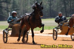 2-year-old Trotting Colt Muscle Midas