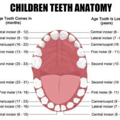 Tooth Layout Diagram Ford 8n Kaufen Blog - Dentists Romford Essex