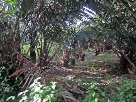 Pohon salak di Padangsidempuan