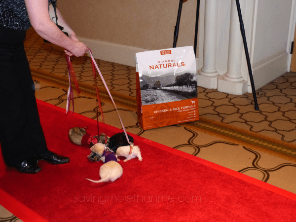 Yes, those really are ferrets on the red carpet. #diamondnaturals #blogpaws winterandsparrow.com