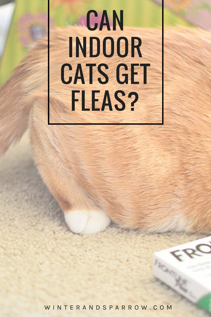Can Indoor Cats Get Fleas? #PetApproved #ad @walmart |winterandsparrow.com