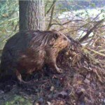 Amazing trail camera video footage of beaver scent mound construction! They build these mounds of debris and mark them with secretions from their castor glands, anal glands, or both. The purpose is to declare ownership of the territory. This activity is most pronounced in spring, when dispersing young beavers who have left their parents are looking for a new place to live. Established beavers want these youngsters to know that this place is taken!