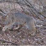bobcat scent marking