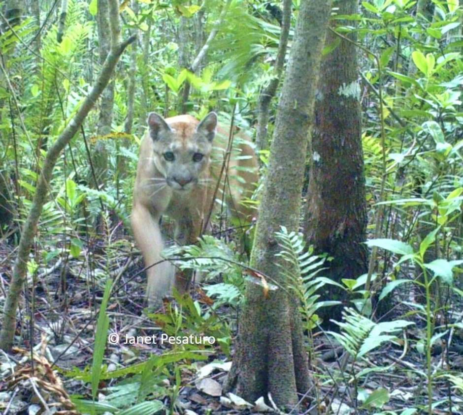 Camera trapping the Florida panther is not difficult, due to the animal's habitual use of travel corridors. See my photos and read how I got them.
