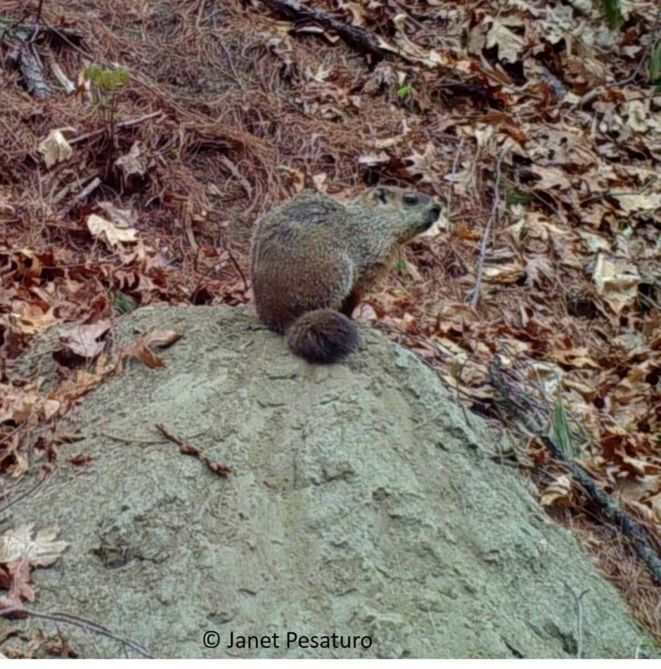 Groundhogs mark trees near their dens by gnawing and cheek rubbing. Our trail camera footage so far shows only the male woodchuck scent marking in this way.