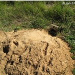 The basics of tracking badgers: where to look, and how to recognize tracks, dens, and sign of scent marking of this burrowing member of the weasel family.