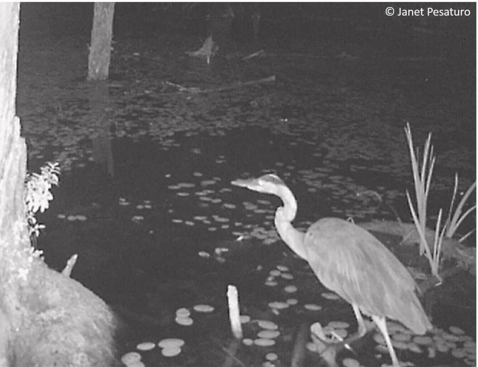 Trail camera video of great blue heron hunting at night. They can and do hunt successfully on moonless night, due to density of rod receptors in their eyes.