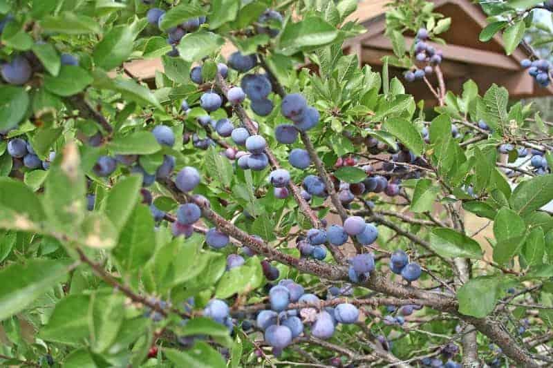 Beach Plum Prunus Maritima  Winter Cove Farm