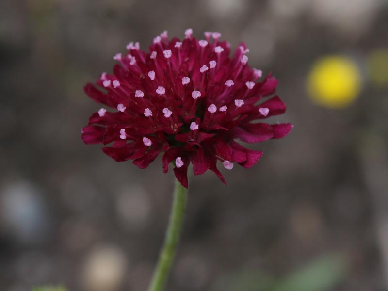Rote Mazedonische Witwenblume Knautia macedonica