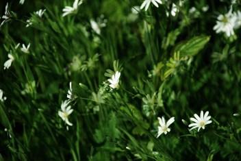 Wildblume02