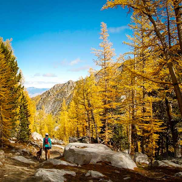 Go Hiking in winthrop with your dog around larch trees