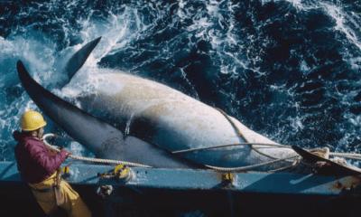 Japón seguirá con la caza de ballenas, Ballena, Japón caza de ballena