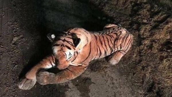 Policía hace un operativo y atrapa a peligroso tigre de peluche DV8iQY9WkAIHcGF.jpg-large-600x338