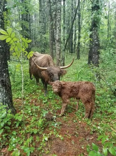 Conoce a Baby James, la vaca que se cree perro James3-373x500