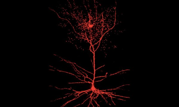 Descubren nuevo tipo de neurona humana se desconoce su función nuevo-tipo-de-neurona-humana-02-600x360