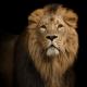 cría de leones para la caza