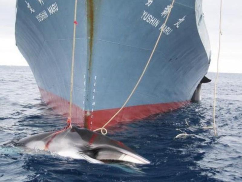 Japón retomará la caza comercial de ballenas