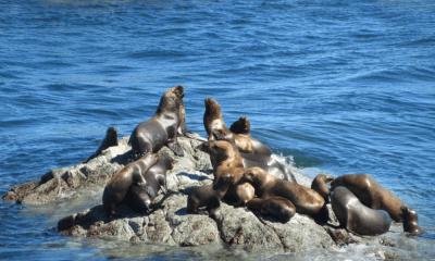 Sacrifican a lobos marinos en EU