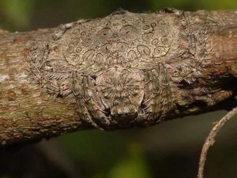 Araña que se camufla en los árboles