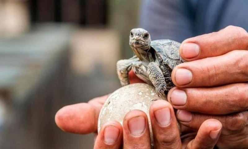 Después de 100 años, aparecen tortugas bebés en las Islas Galápagos tortugas-beb%C3%A9s-en-las-Islas-Gal%C3%A1pagos-2