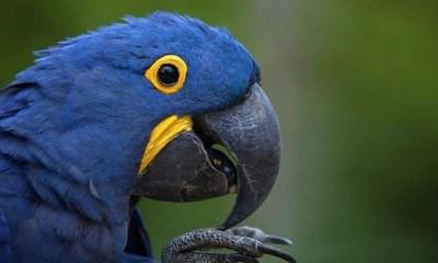 Nació cría de Guacamayo azul
