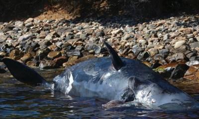 ballena muerta con mucho plástico en su interior