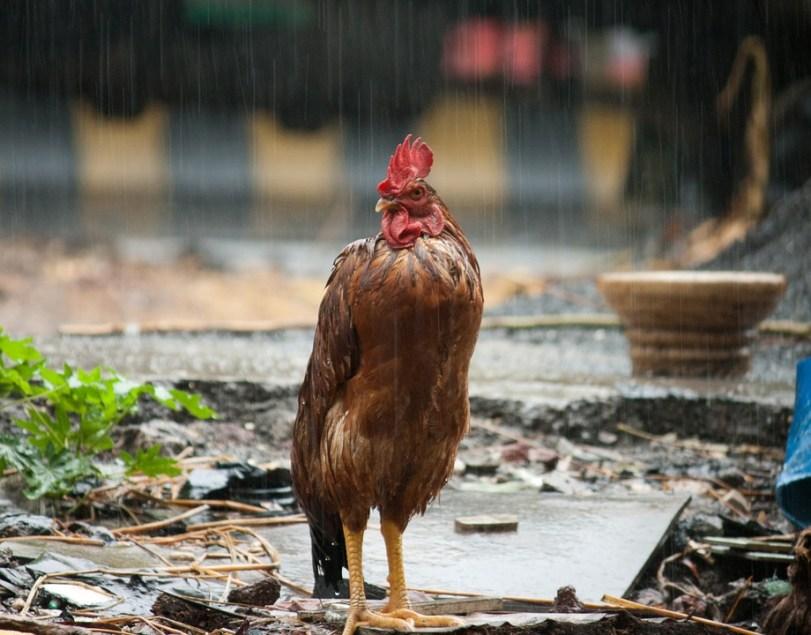 Ternak Ayam Kampung