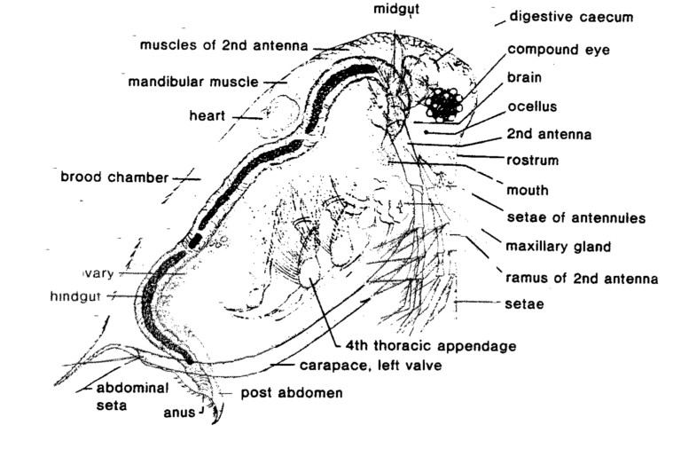 Daphnia Labeled Diagram