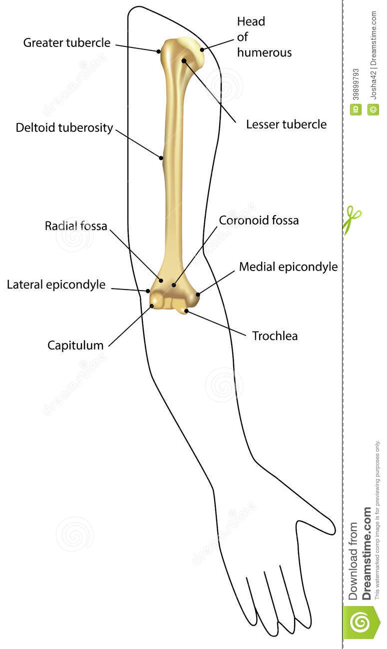 Humerus Diagram Unlabeled