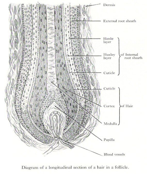 Labeled Hair Follicle Diagram