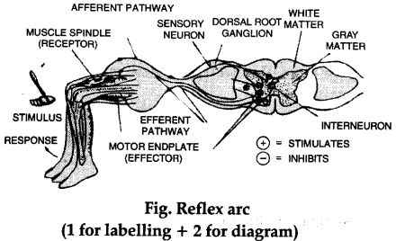 Patellar Reflex Arc Diagram