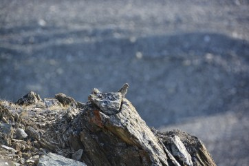 Rare wildlife spotted while servicing time lapse cameras along the Purple Valley ridge.