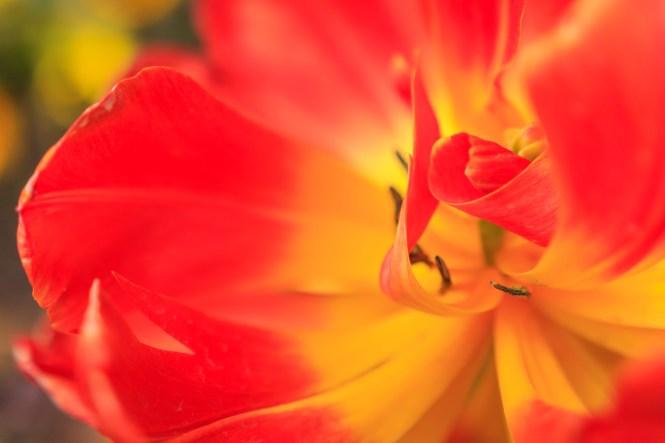Tulpenpracht in der FLORA  Susanne und Peter unterwegs