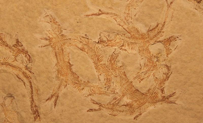 Fossil des Jahres 2016: Leptolepides sprattiformis
