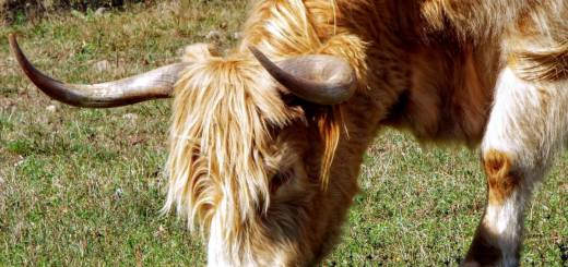 highland-steer