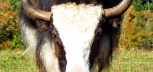 big-yak