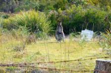 Die Wallabys haben's auch bis auf Bruny Island geschafft.