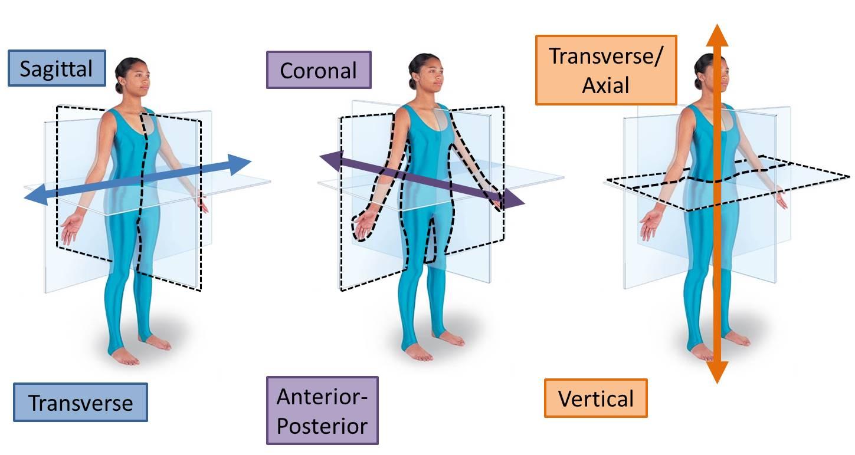 Limb Development Mind Amp Motion Anatomy
