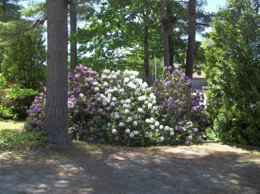 Flowering bushes at Wiscasset Woods Lodge