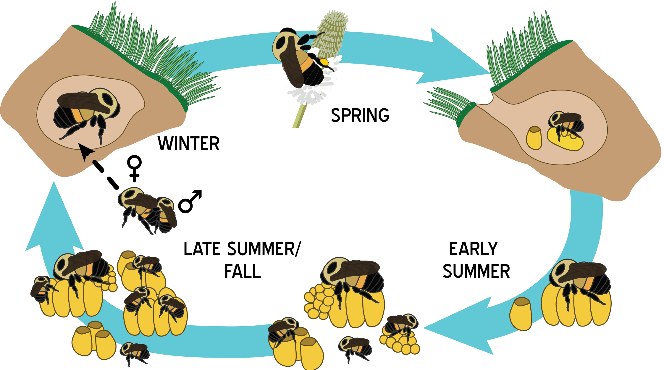 Bumble Bee Life Cycle Pictures To Pin