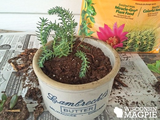 succulents in butter crock