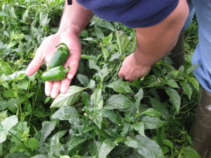 """Each autumn, José harvests the green peppers, jalapenos, tomatoes, corn, onions, potatoes and cilantro he grows in his garden outside their house. """"Just think how much we save by not buying vegetables for three months,"""" he says. WCIJ/JACOB KUSHNER"""