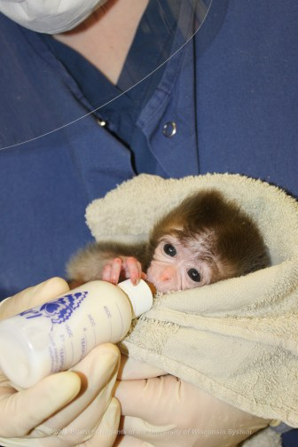 """Very young monkeys who are separated from their mothers are fed by animal caretakers at the University of Wisconsin-Madison. """"They hold the animals, they give them comfort, they give them warmth,"""" says Saverio Capuano, head veterinarian at the Wisconsin National Primate Research Center."""