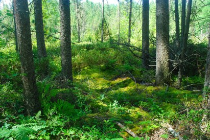Moss-carpeted Forest