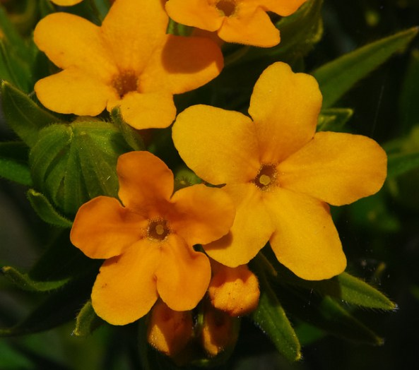 Hoary Puccoon