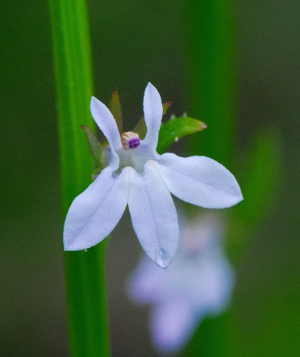 Pale-Spike Lobelia