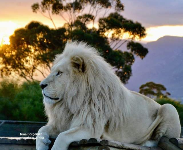 The mythical white lions of South Africa - Wisdom from North