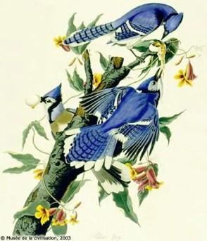 Blue-Jay-nest-robbing-plate-audubon_102-blue