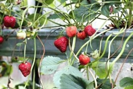 strawberry_gutters